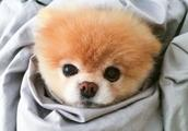 有1600万粉丝的全球最可爱狗狗去世,粉丝们心碎了