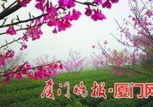 """厦门岛外樱花已盛开一个月 吸引市民岛内赶来""""追花"""""""