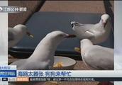 悉尼歌剧院海鸥太嚣张!抢夺游客食物影响旅游体验,狗狗来帮忙