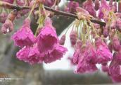 垫江:早春二月好风光 樱花烂漫迎春来
