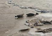 斑海豹产子期间100只幼崽被盗!已死亡37只|绿会及保护地紧急行动