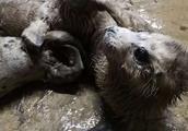 斑海豹产子期间100只幼崽惨遭盗猎 已有37只死亡