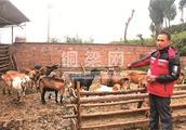 维新麻羊火了市场鼓了村民腰包