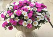太阳花这么养,满枝都是花,开花开到爆!