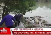 柳州一河面突然出现大量死猪,因被浸泡已开始腐烂并散发异味