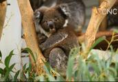 AI合成主播│来堪培拉提宾比拉公园喂袋鼠 看考拉
