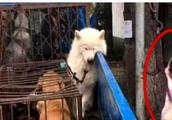 萨摩耶被抓进狗笼一脸绝望,静静等待死亡来临,神情令人心痛