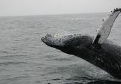 冰岛在未来 5 年要捕杀 2000 头鲸鱼,即使也赚不到什么钱