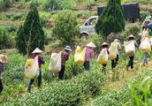 日本人追捧中国茶叶:来自中国福建省是质量保证