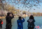 北京颐和园西堤桃花盛开 吸引游客前来观赏拍照