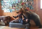 2米高棕熊和主人为争夺沙发打闹玩耍