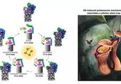 研究揭示蛋白酶体在泛素链诱导下的变构及底物识别机制