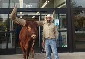 """听说商店欢迎任何""""拴绳的宠物"""",德州男子牵1吨重的牛逛店试探"""