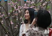 图集 |珠海圆明新园樱花朵朵开,游人踏春来