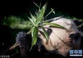 中国两只大熊猫在丹麦动物园正式亮相 丹麦女王剪彩欢迎
