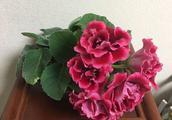 这3种花漂亮好养,北房间也能开爆,一开300多天,是盆栽佳品!