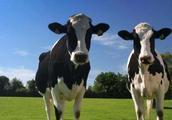奶牛产奶稀,质量不高怎么办?最核心的问题还是喂养技巧不合理