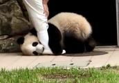 日本大熊猫变身腿部挂件,就是不肯进笼子,饲养员直接无奈了!