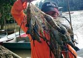 湄公河大虾泛滥,一上午随随收获几十斤,钓虾者赤裸裸拉仇恨