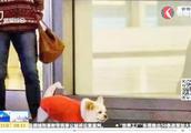 上海恒隆广场大狗狂吠吓跑路人,不牵绳遛狗没人管?