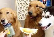 狗可以吃榴莲吗 榴莲那么贵还是留着自己吃吧 狗狗不宜多吃