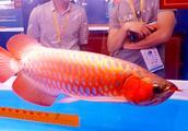 红龙鱼凭什么价值100万?观赏鱼看它就对了,这个水族箱值钱了