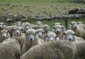 还有50天过年了,还等着春节前羊肉涨价?养羊人要把握出售时间