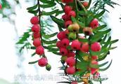 贵州高山才有的红豆杉,果实漂亮还能防癌治癌,为啥掉地上也无人采
