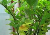 金钱树叶子发软,教你几招,叶子肥厚油绿!