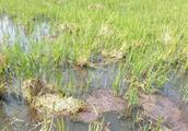 养殖小龙虾的稻田收割后稻草腐烂要怎么办?
