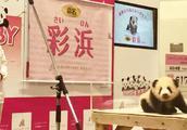 """日本动物园今年新生熊猫宝宝,最终定名为""""彩浜"""",小家伙超可爱"""