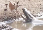 羚羊正在喝水,鳄鱼突然发起攻击,下一秒羚羊的举动让人难以置信