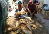 美国泛滥的亚洲鲤鱼好日子这次真的结束了,被消灭只是时间问题