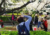 武汉大学樱花初绽美景盛况如何?