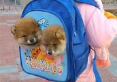 """不让带宠,父亲想了一个办法,第二天孩子便带着""""柴犬""""去了学校"""
