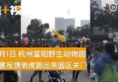 网传今天早上杭州富阳野生动物园一只老虎出逃,真相来了!