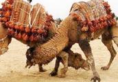 骆驼为了争夺配偶权,打架激烈,只攻击对方这一个位置!