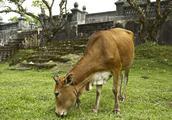 为什么牛总是不停的咀嚼?