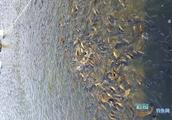 鱼缺氧起浮和不下底是怎么回事?钓鱼人应该怎么做?