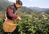 中国十大名茶-黄山毛峰,原产地富溪高山茶园正式开采