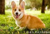 贵宾犬养护指导:怎样改变狗狗,已经养成的坏习惯
