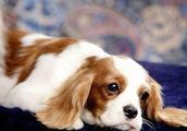 盘点狗狗不能吃的5种食物「科瑞卡科普」