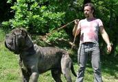 世界4种顶级护卫犬,一种被用来围剿美洲狮,一种被誉为飞天蝙蝠