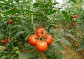 种植番茄,这个问题不解决,番茄畸形果年年有,菜农减产又减收!