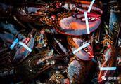 顺景发加拿大龙虾包机到货,一只高品质龙虾是怎样端上餐桌的?