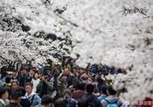 """堪比武汉大学!南京南林大校园花海人海,怎一个""""挤""""字了得!"""