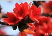 宋春玉:木棉花的春天