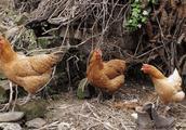 家里母鸡一直下蛋,王大妈却一点高兴不起来:这个蛋根本不敢吃