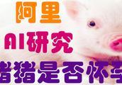 阿里工程师为猪操碎了心,他们开发AI神功能,检测猪猪是否怀孕