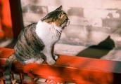 故宫小崽儿走了,也许你曾在故宫见过一只猫